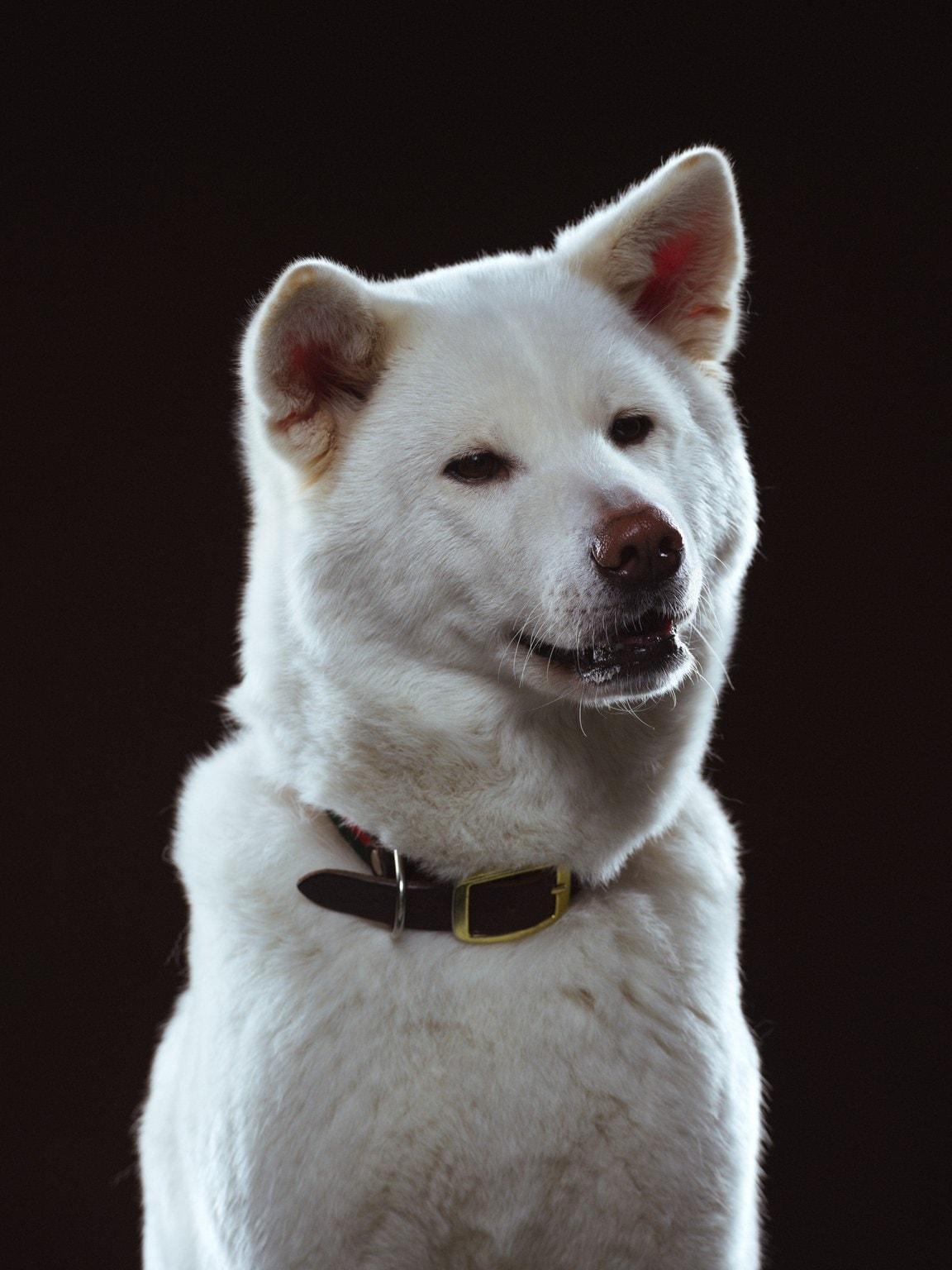 Koirapotretti American Akitasta