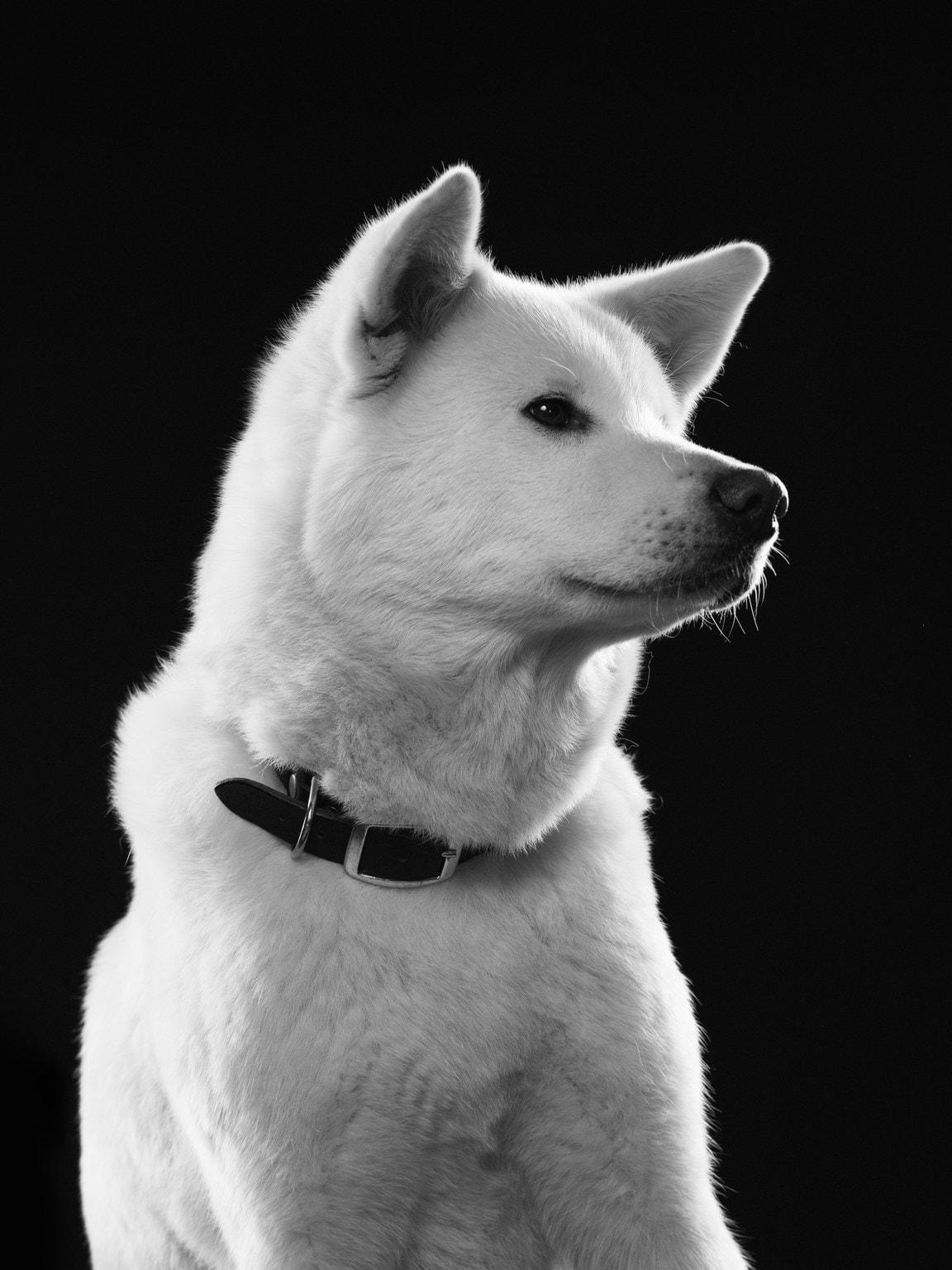 Koirapotretti American Akitasta, mustavalkoinen versio